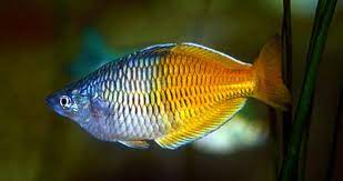 rainbowfish for aquarium