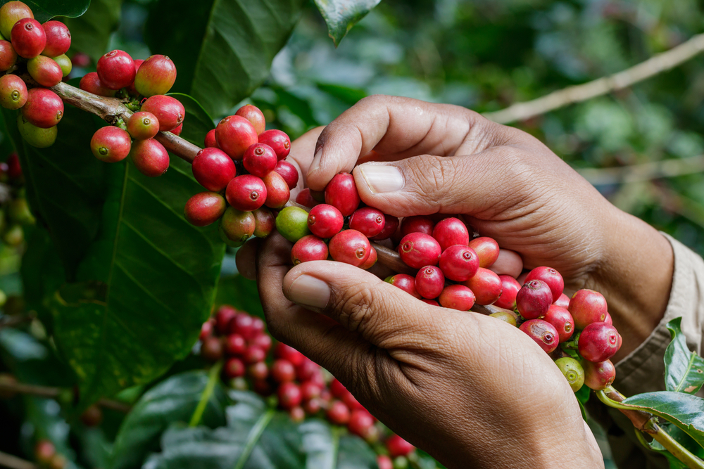A harvester carefully picking out ripe coffee cherry