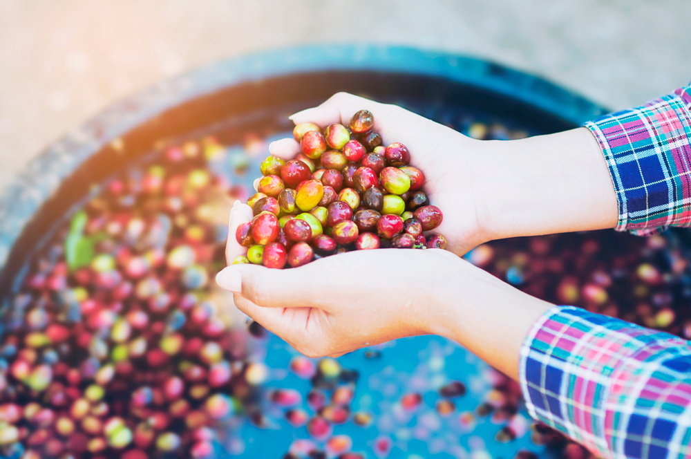 Woman bringing out coffee cherry that was immersed in water