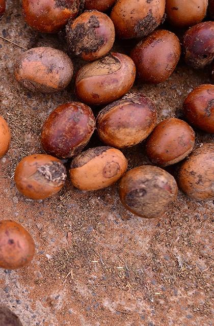 Foto das sementes de karité, matéria-prima da manteiga de karité, no solo. As sementes são assemelhadas a nozes, com cascas duras e marrons.