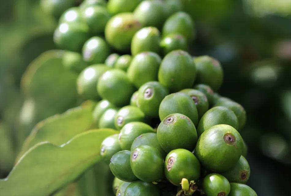 Imagem mostra em destaque um conjunto de sementes de café verde ainda ligadas ao pé de café arábica.