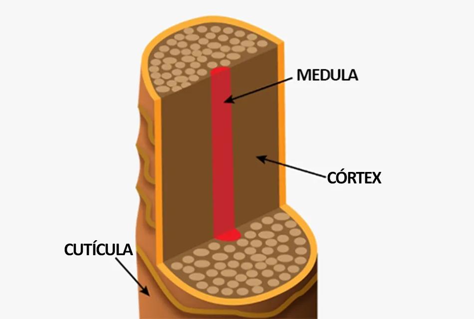 Imagem mostra desenho esquemático com as três camadas principais do fio de cabelo: medula (mais interna); córtex (intermediária e principal); e cutícula.
