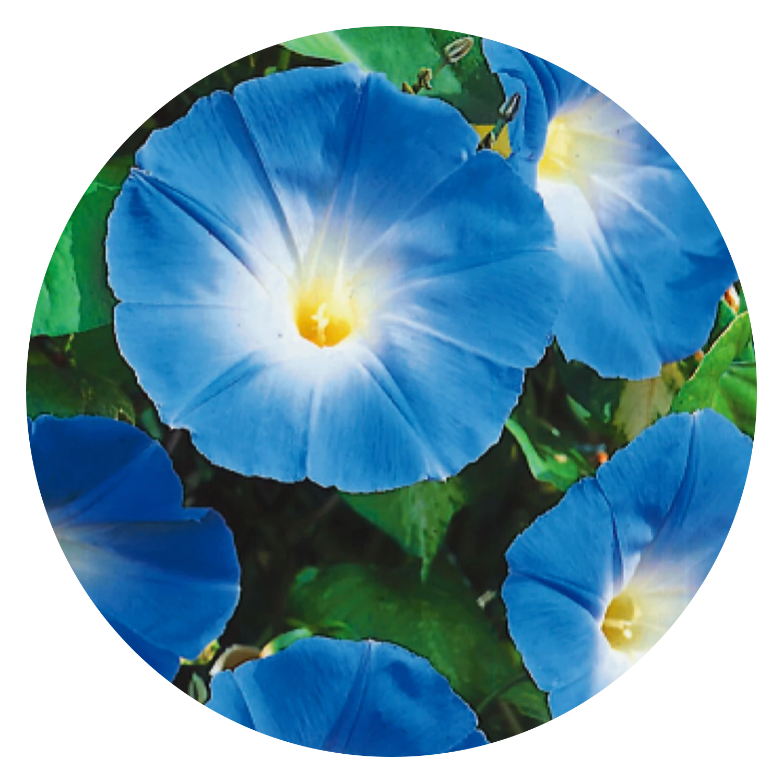 Heavenly Blue Morning Glory Flower Seeds