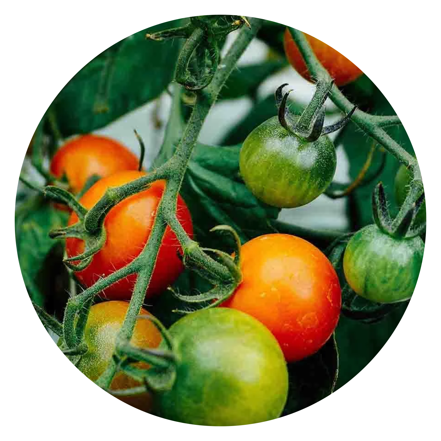 Large Red Cherry Tomato Seeds, link to product page.