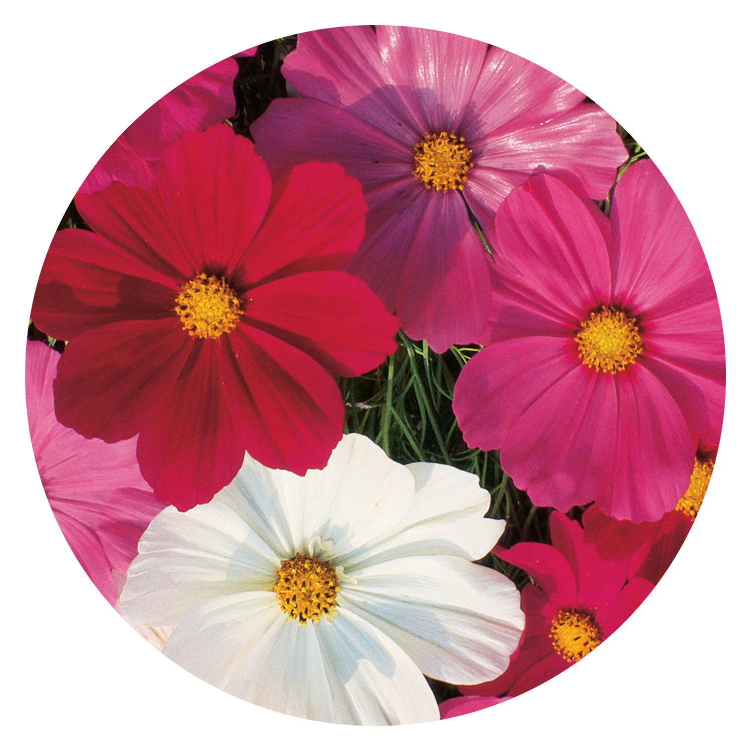 Sensation Mixed Colors Cosmos Flower Seeds, link to product page.