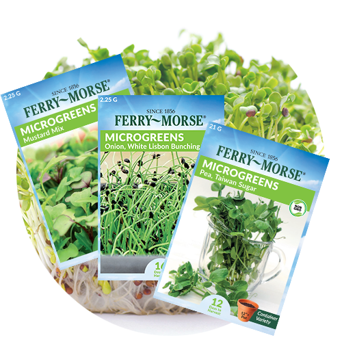 Microgreens Seeds from Ferry Morse fanned out in front of sprouting microgreens.