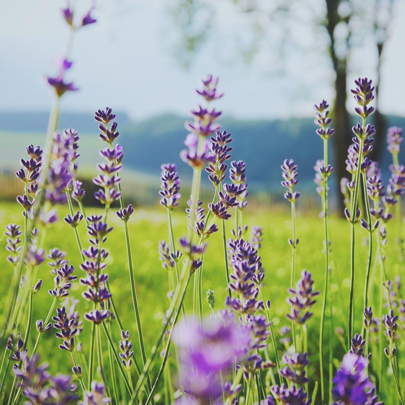 Sweet lavender in a green field