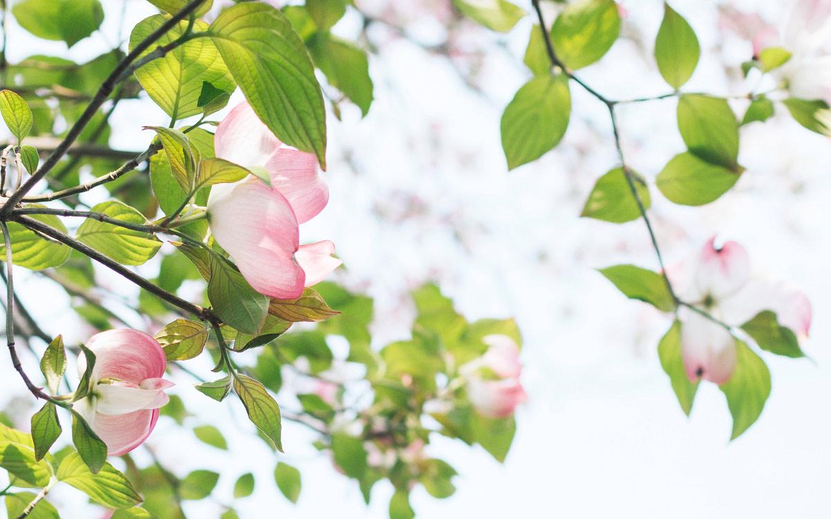 Frühlingshafte rosa Knospen an einem Baum