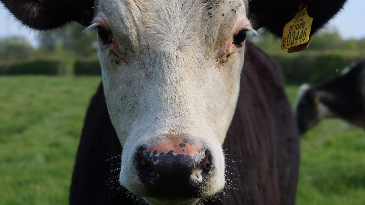 Close up of the head of a bullock with a white face, black body, ears and nose.  He has a yellow identity tag in his left ear.