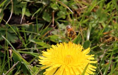 Une abeille butine des fleurs de pissenlit