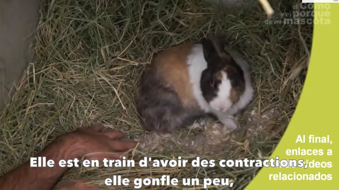 LAPINS - Mise-bas d'une lapine en direct. La naissance des lapereaux