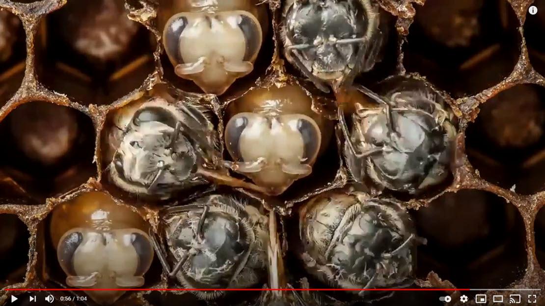 Cycle de développement des abeilles en image