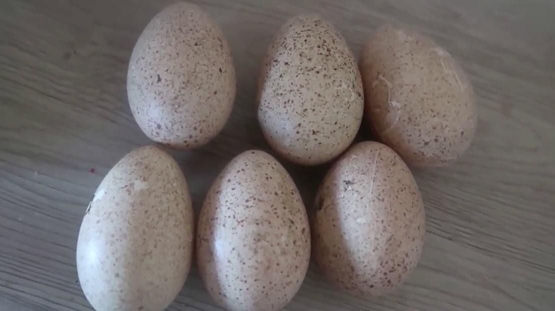 Incubation + éclosion d'œuf de dinde