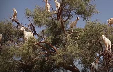 Maroc : des chèvres perchées au sommet des arbres