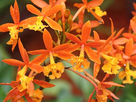 Pflegetipps für Epidendrum Orchideen