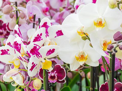 Pflegetipps für Phalaenopsis Orchideen