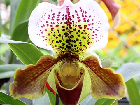 Pflegetipps für Paphiopedilum Orchideen