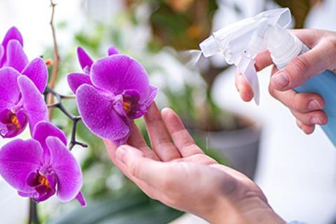 Wann und wie die Orchidee richtig gießen oder besprühen?