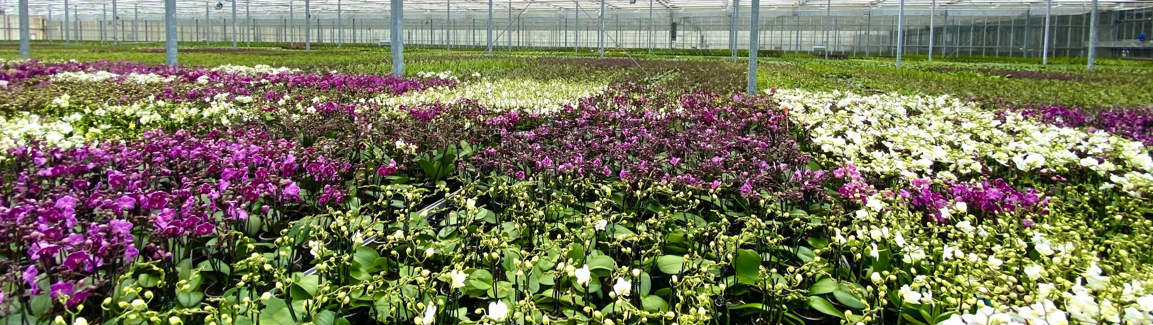 Tipps für die 5 beliebtesten Orchideengattungen