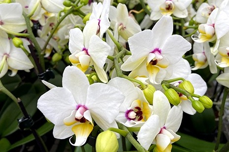 Was ist das besondere an der Schmetterlings-Orchidee?