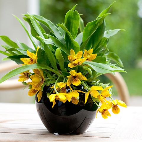 Der richtige Standort für die Promenaea Sunlight Orchidee