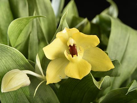 Pflegetipps für Promenaea Orchideen