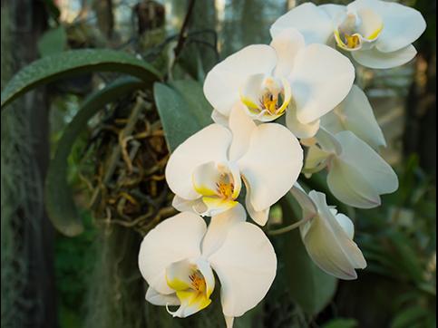 Was ist eine Phalaenopsis?