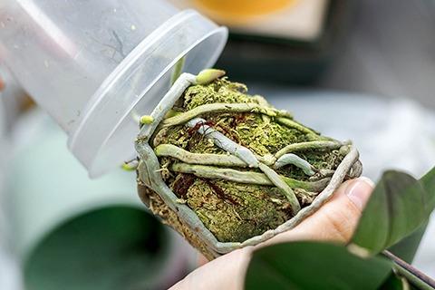 Wann muss ich die Schmetterlingsorchidee umpflanzen?