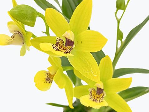 Pflege-Tipps für Zygodisanthos Orchideen