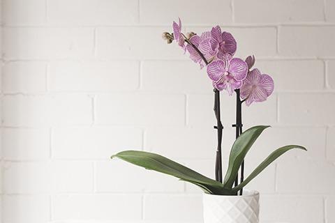Wie viel Sonne braucht eine Phalaenopsis Schmetterlingsorchidee?