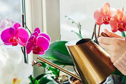 Wie oft sollte man die Schmetterlingsorchidee gießen?