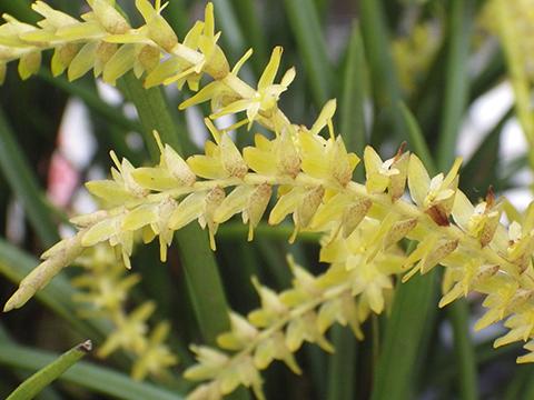 Pflegetipps für Dendrochilum Orchideen