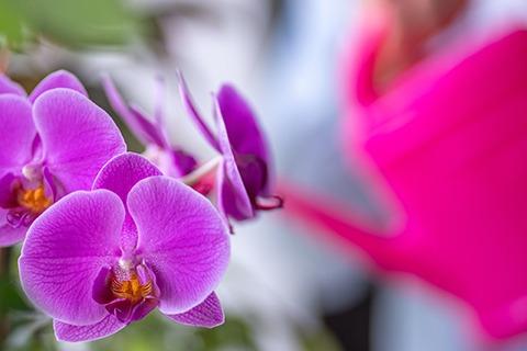 Wie oft sollte man Orchideen gießen?