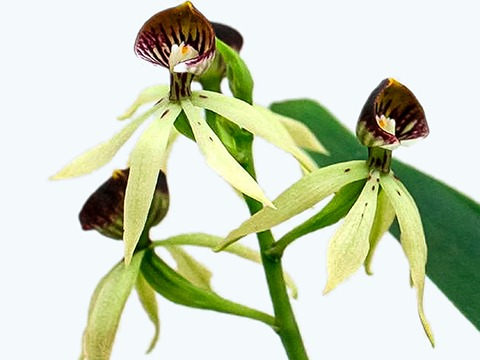 Pflegetipps für Encyclia Orchideen
