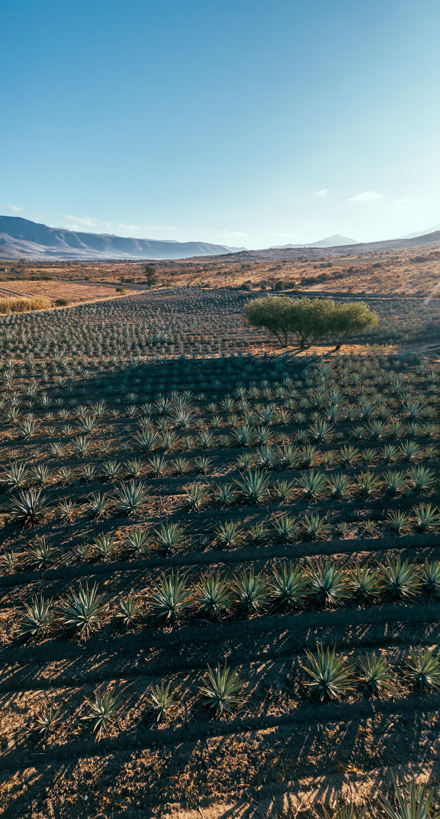 Plantação de agave azul, planta utilizada na produção de tequila