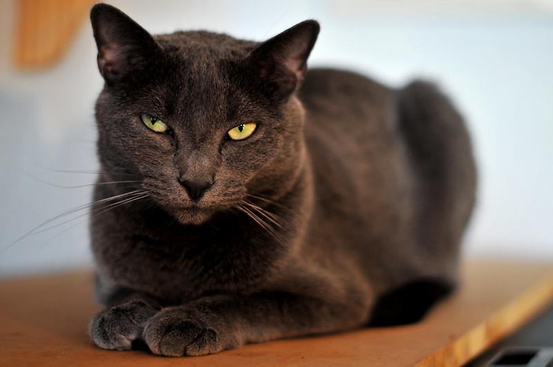 Black angry cat looking at the camera