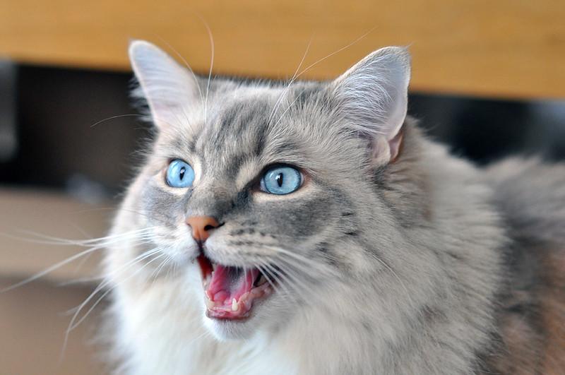 blue eyed cat by Martijn Nijenhuis