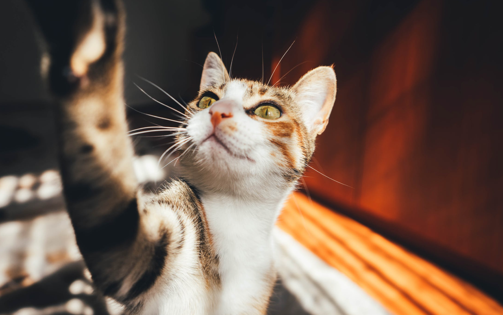 manage cat's joint health with scruffy paws