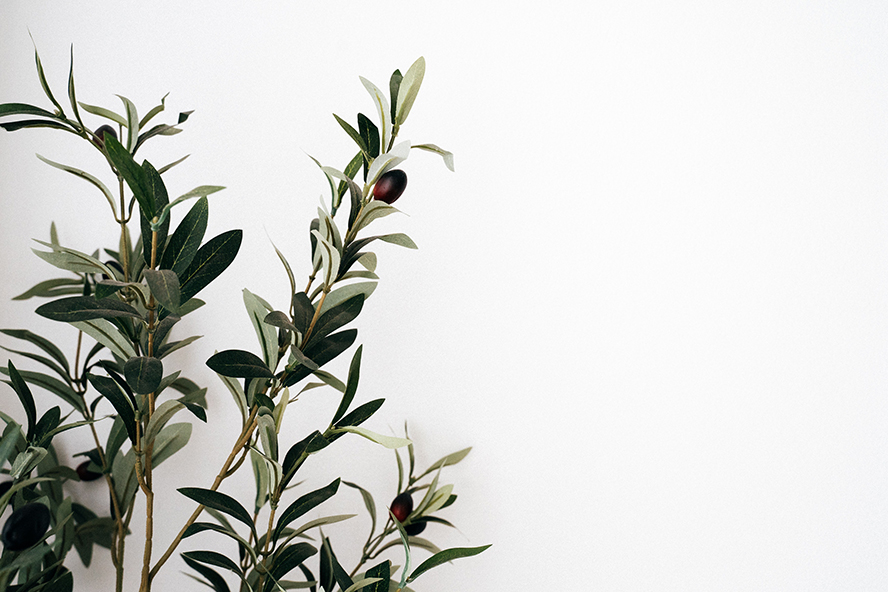An olive branch against a white wall.