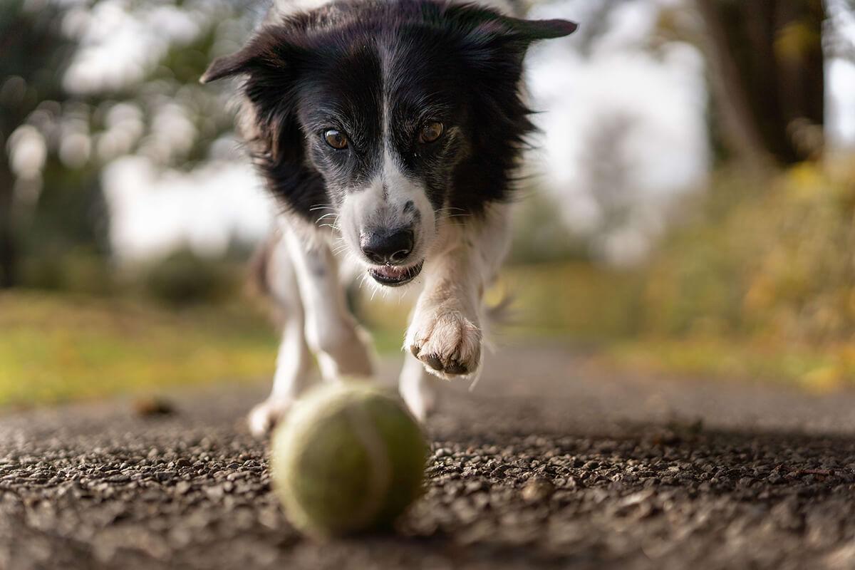 Dog-Plays-Ball