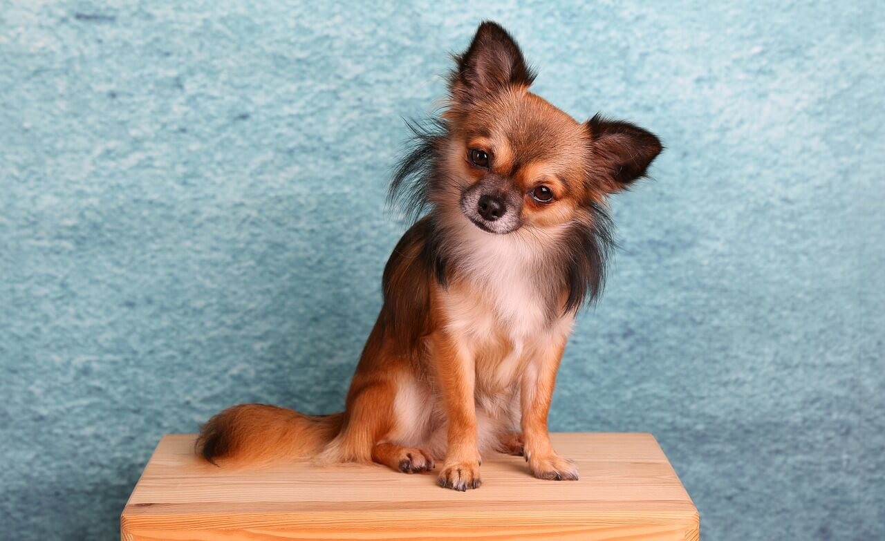 Chihuahua-3