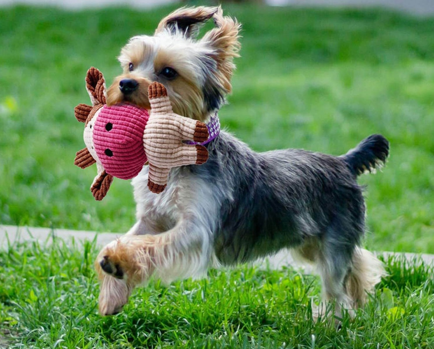 Dog-Play-Toy